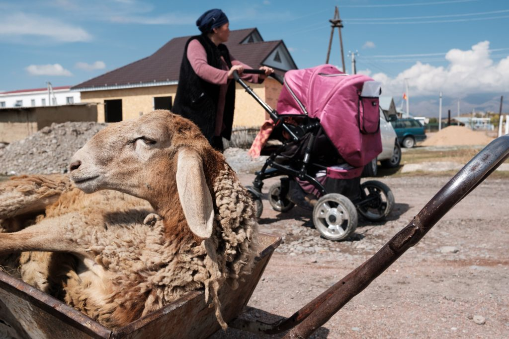 Photo by Nyani Quarmyne, text by Laura Salm-Reifferscheidt, submitted by Talant Sultanov, Kyrgyzstan, 2018 - A sheep in a wheelbarrow beside the main street of the village of Suusamyr, which lies above 200m in a valley of the same name in the Tian Shan Mountains in Kyrgyzstan, on 14 October 2018. The village is home to Suusamyr Net, a community network that has brought a high-speed Internet link to the community, and will soon be providing residents with fast connections by fibre to the home.