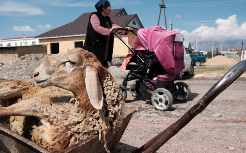 Talant Sultanov Kyrgyzstan, 2018, A sheep in a wheelbarrow beside the main street of the village of Suusamyr, which lies above 200m in a valley of the same name in the Tian Shan Mountains in Kyrgyzstan, on 14 October 2018. The village is home to Suusamyr Net, a community network that has brought a high-speed Internet link to the community, and will soon be providing residents with fast connections by fibre to the home.